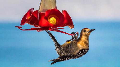 Gila Woodpecker Raiding the Hummer Feeder | by jackodog