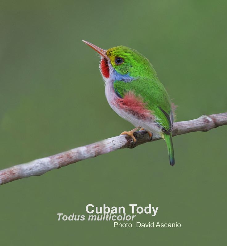 Cuban Tody, Todus multicolor_199A5920