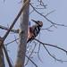 オオアカゲラ(White-backed Woodpecker)
