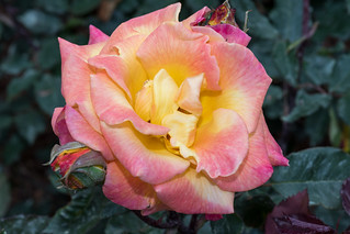 Rose Garden 3 NBG | by Puddin Tain