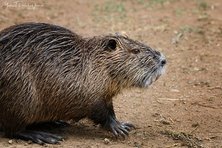 Myocastor coypus | by Gabriel Paladino Photography