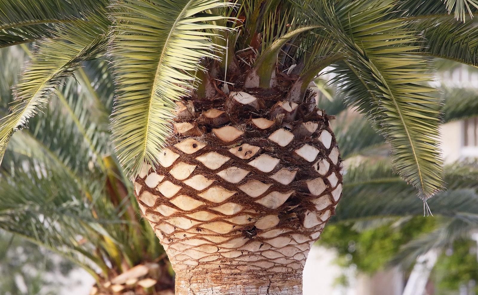 Palm -  - Sant Carles de la Rapita