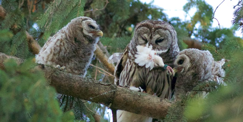 Parent Barred Owl Attempting to feed Bird Leg with Bands t