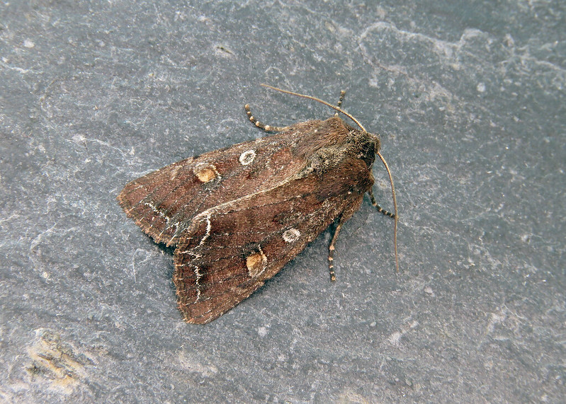 73.267 Bright-line Brown-eye - Lacanobia oleracea