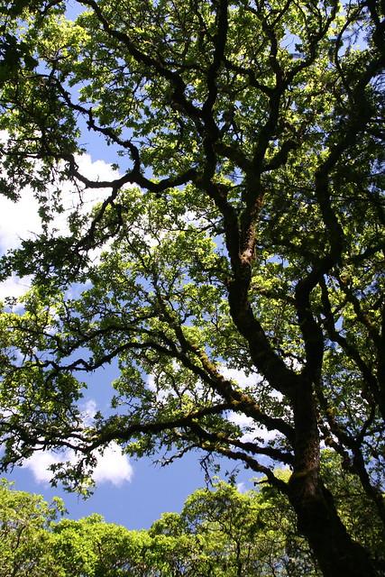 Quercus garryana, April