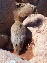 Grand Canyon - South Kaibab Trail, squirrel at Skeleton Point (3)
