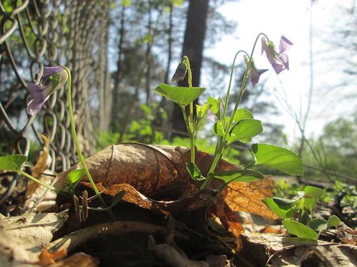 Viola reichenbachiana