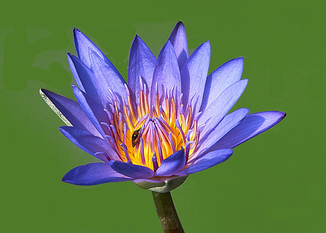 Blue Water Lily And A Visiter – Nymphaea caerulea