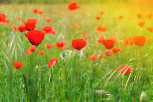 poppies papaveri flowers fiori rosso red sunset tramonto napoli italia italy nikon d3100 green verde crescita growth