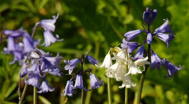 blue and white bells flowers