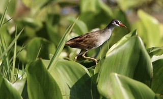 White-browed Crake (Porzana cinerea) | by Thai pix Wildlife photography,,