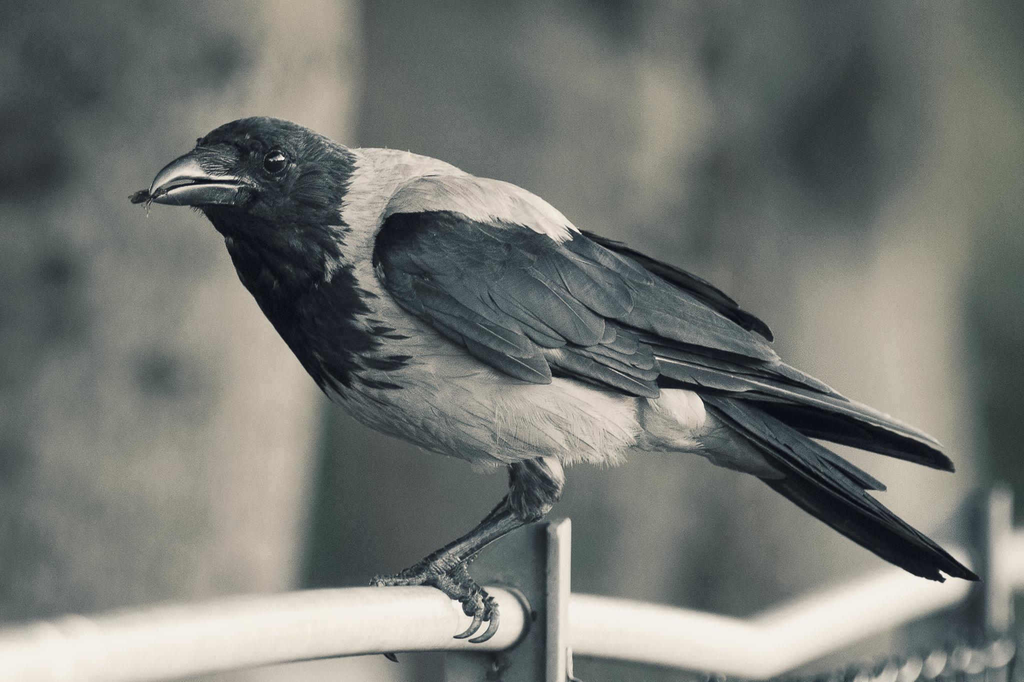 Crow eating bug