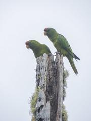 Scarlet-fronted Parakeet (Psittacara wagleri)