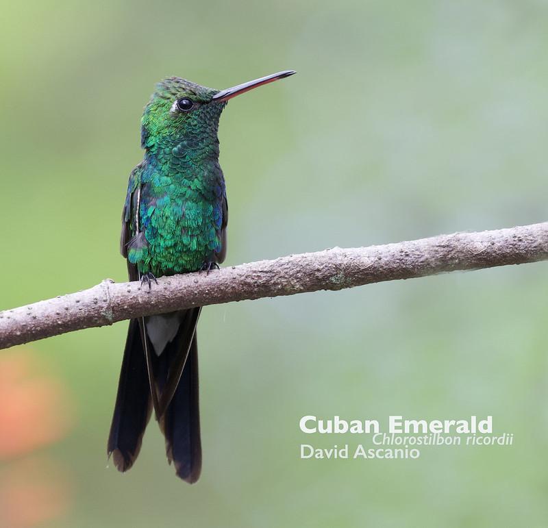 Cuban Emerald, Chlorostilbon ricordii_199A4597