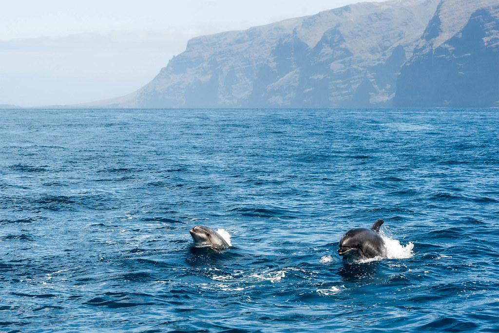 Cetáceos en Tenerife