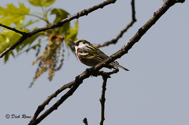 Chestnut-sided Warbler 12 May 18 3