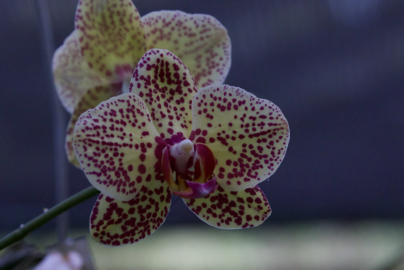 Orchid_199A3782