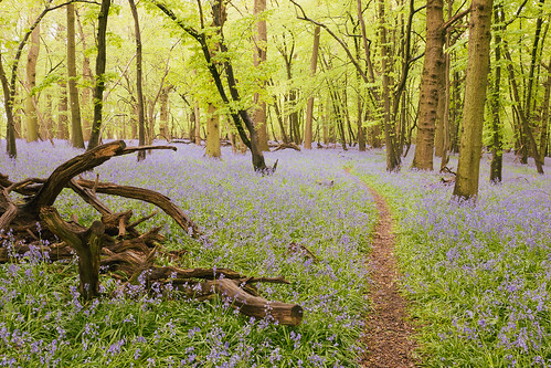 Bluebell woods | by A_Peach