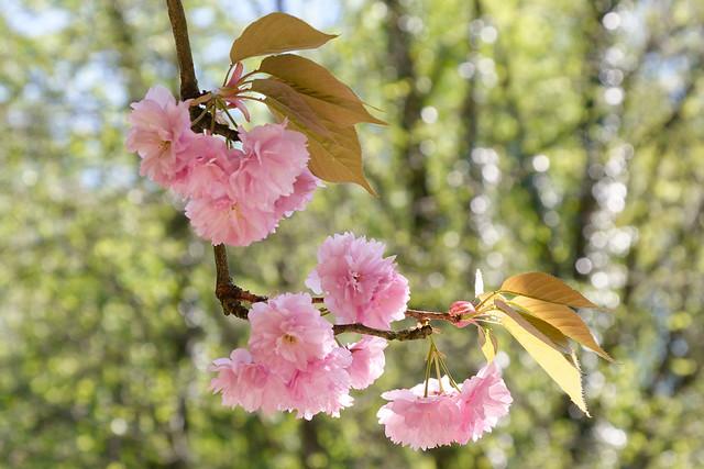 Fleurs pendant à la branche d'un vieux cerisier du Japon