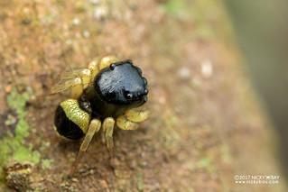 Jumping spider (Pystira ephippigera) - DSC_3002