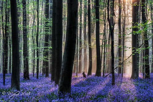 hdr hallerbos belgium belgique nature forest tree light life sun serenity sunset travel mist goldenhour bluebells blue shadows hyacint hike brussels bruxelles nikon d90 nikonafsdxnikkor18105mm3556g mygphotographiewixsitecommyg2017 myg 2018 sunray ngc