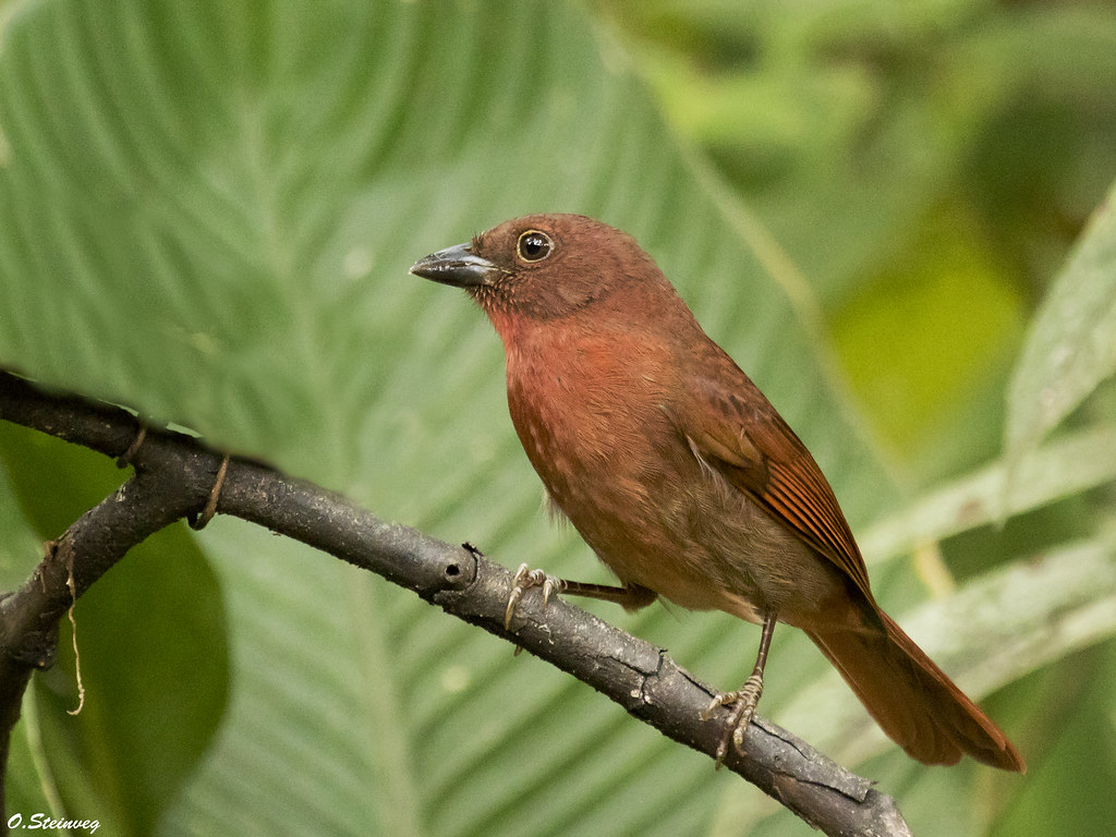 Red-crowned Ant-Tanager - Habia rubica