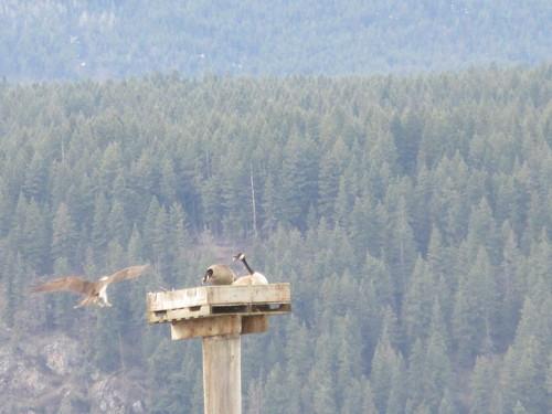 birds geese nesting platform nature bay salmon arm shuswap bc british columbia canada osprey