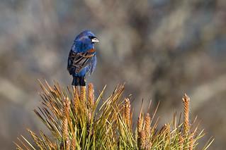 Blue Grosbeak   by CooperativeVerse