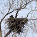 Eagle and chick by Shotaku