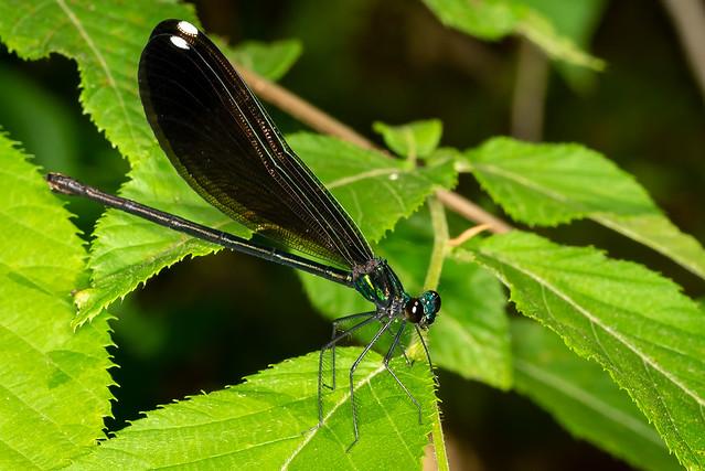 Black Damselfly - Calopteryx maculata (female)