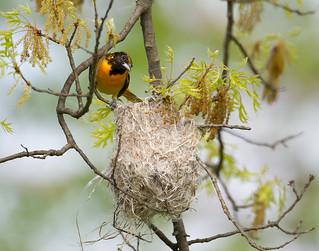 Mama Baltimore building the nest
