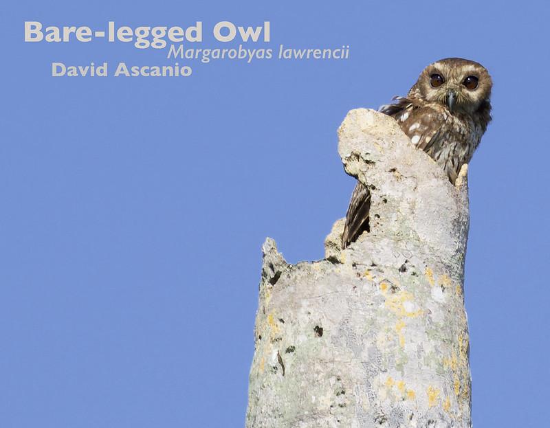 Bare-legged Owl, Margarobyas lawrencii. 199A2251