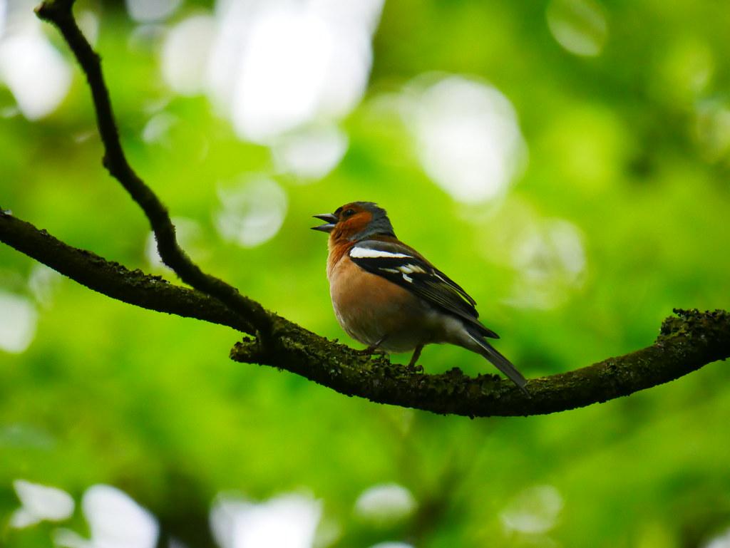 A Chaffinch singing