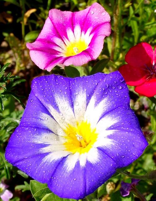 PERPIGNAN FLOWER