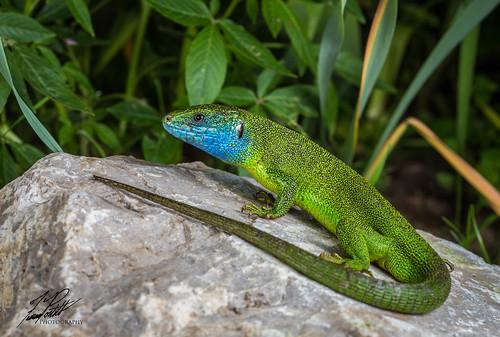 European Green Lizard | by Frank Portillo