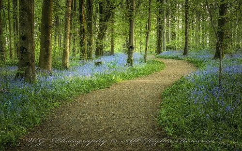 portglenone bluebells countyantrim northernireland nature natural flowers forest path view