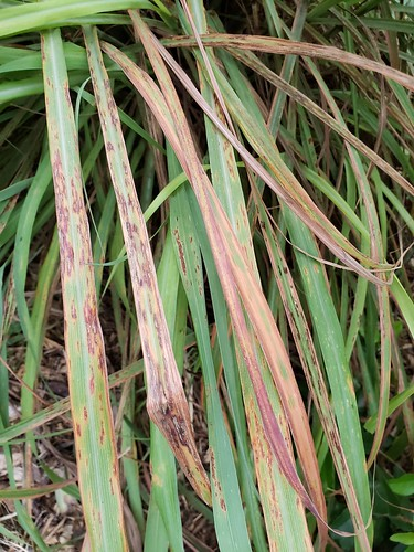 Lemongrass Cymbopogon Citratus Rust Pathogen Puccini Flickr