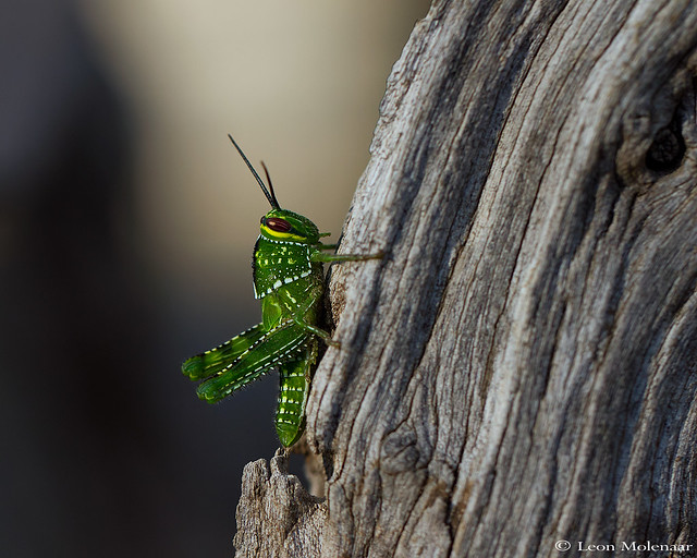 Garden Grasshopper