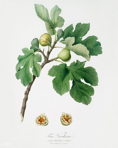 Fig (Ficus carica) from Pomona Italiana (1817 - 1839) by Giorgio Gallesio (1772-1839). | by Free Public Domain Illustrations by rawpixel