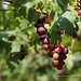 Grapes Farm in Bauang, La Union