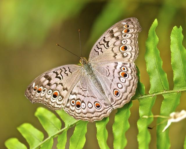 Grey Pansy Butterfly (Junonia atlites)