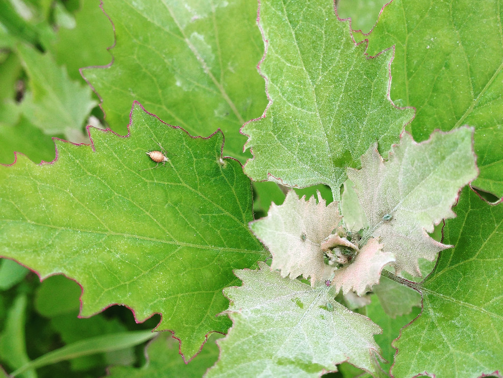 Lambsquarters Seeds