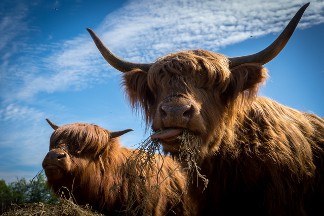 Highland Cattle_7