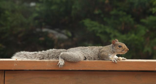 Alert Squirrel