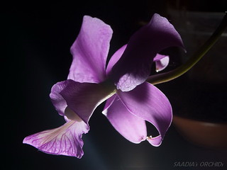 Cattleya nobilior amaliae x self | by TwilightShadow