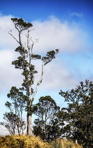 hawaii volcano village tree plant hill wyojones np