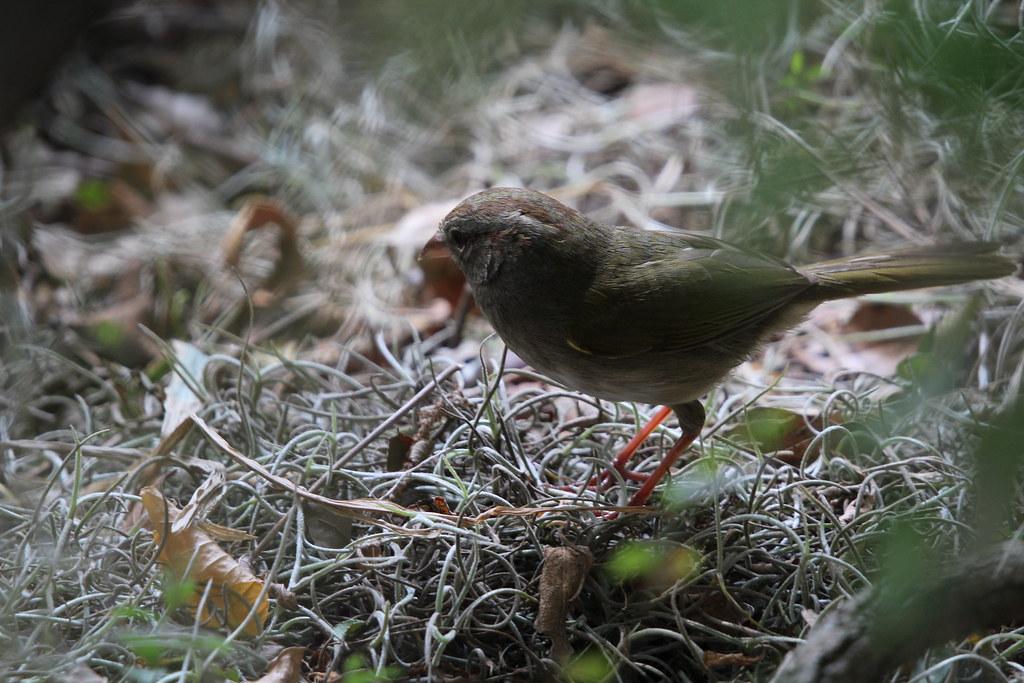Olive Sparrow sanata ana NWR 4-18