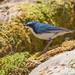 コルリ(Siberian blue robin)