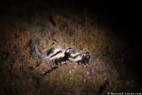 Striped Polecats