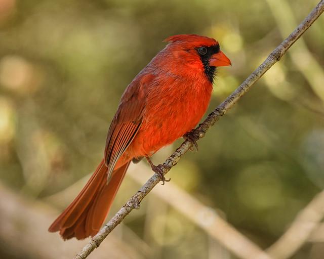 Northern Cardinal - 2720
